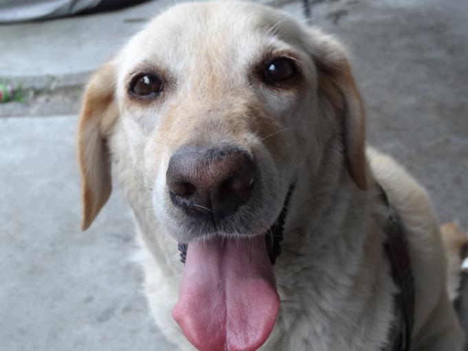 盲導犬のラブラドール「オスカー」の話