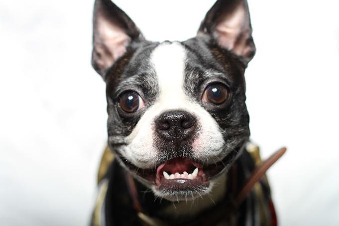 犬にも歯磨きは必要?3歳以上の犬の約80%が歯周病