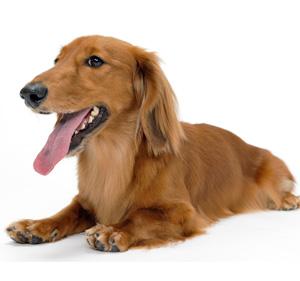 失敗しない犬の歯磨きの始め方