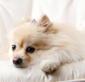 犬のイライラや体調不良は、シックハウス症候群が原因かも!
