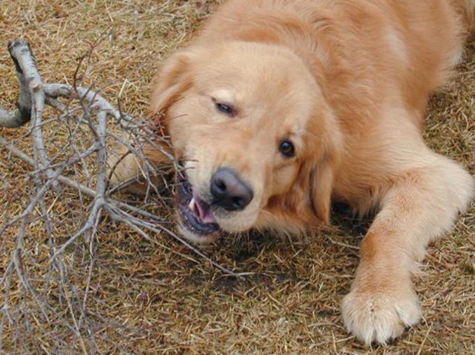 ペットの王国ワンだランド~ゴールデンレトリーバーがモンキードッグ