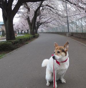 愛犬とのお散歩!一番いい季節です♥
