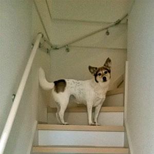 愛犬のため、階段に安全対策していますか?滑り止め階段マット