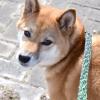 森田誠さん山本卓さんの噛みつく犬の直し方を比較してみた