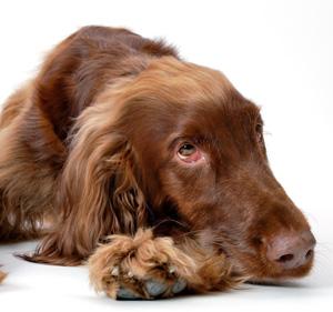 中型犬と大型犬、以外と室内で飼いやすい理由~犬種の選び方