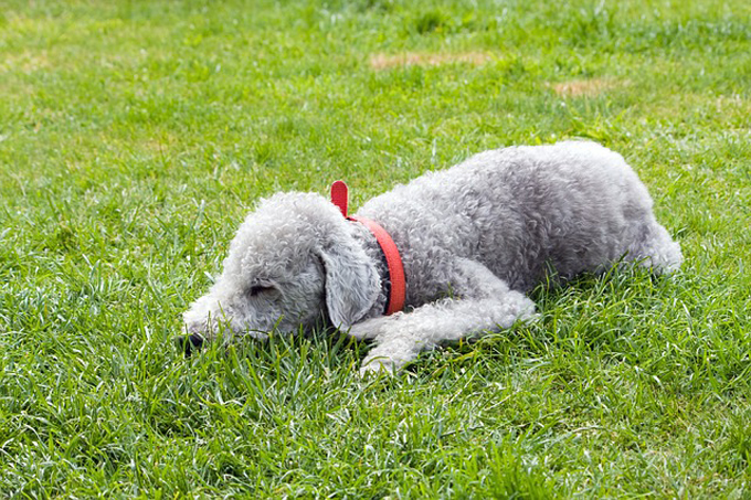 bedlington-terrier-76571_64