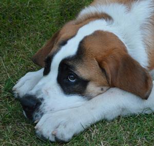 ペットの王国ワンだランド~セントバーナード、超デカイ癒し犬