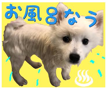 日本スピッツのシャンプーの仕方