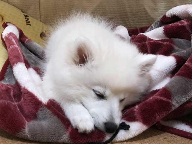 子犬の睡眠(日本スピッツ)