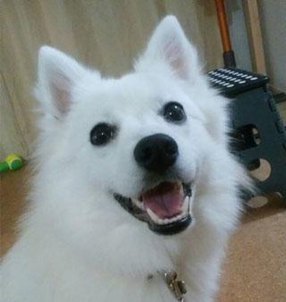 日本スピッツ 笑顔